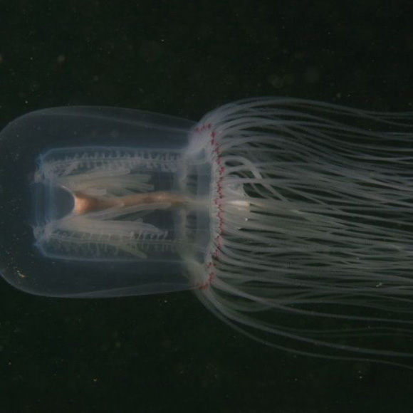 Red Eye Jelly - Polyorchis Penicillatus