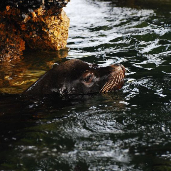 Wild California Sea Lion-Zalophus Californianus